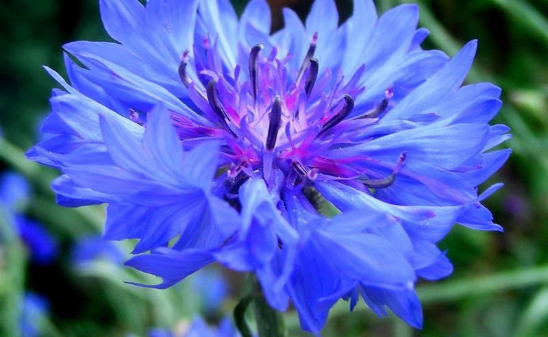 Волошка синя любить сонячні місця і погано переносить вологий ґрунт