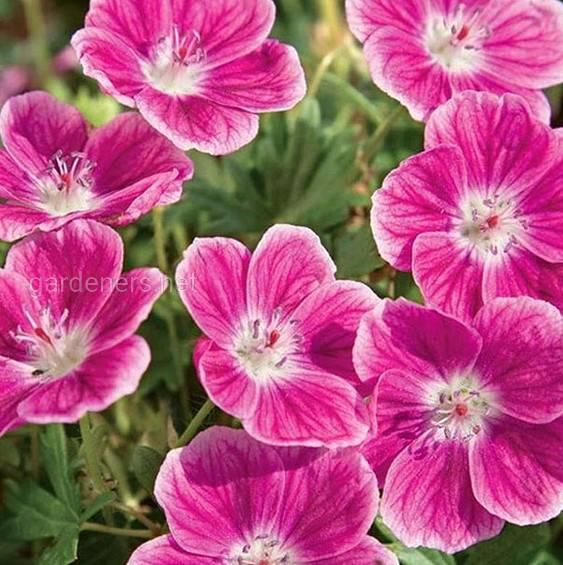 Квіти, які цвітуть усе літо