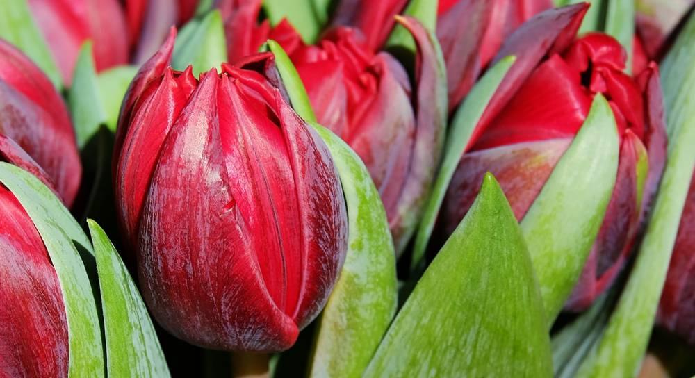 Болезни и вредители луковиц тюльпанов