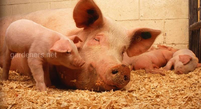 Вибираємо породу свиней