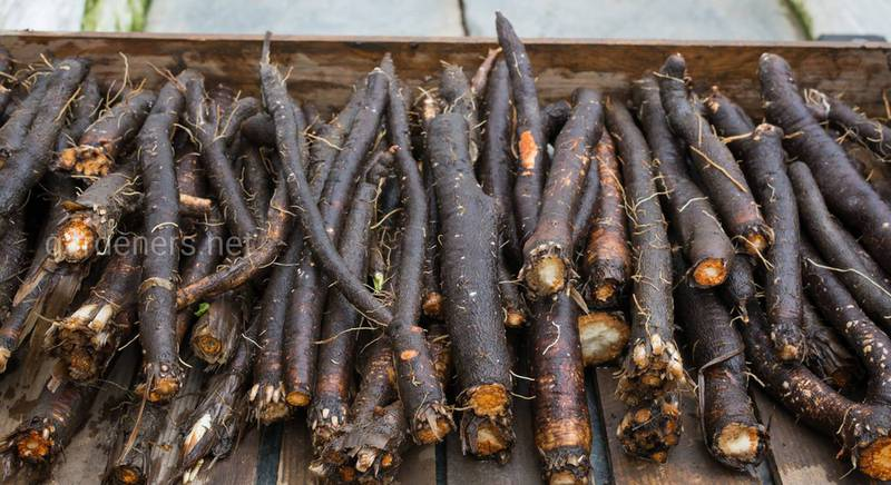 Скорцонера или «черная морковь»: что это такое и как вырастить на своем участке?