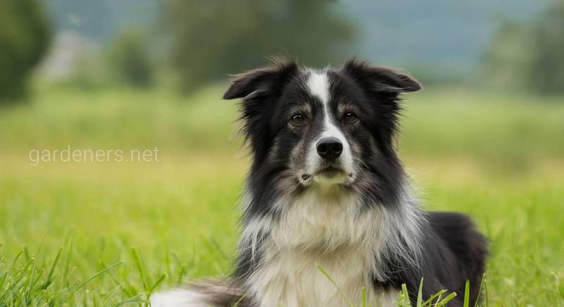 Бордер-колі: найрозумніша собака, що вражає своїми здібностями
