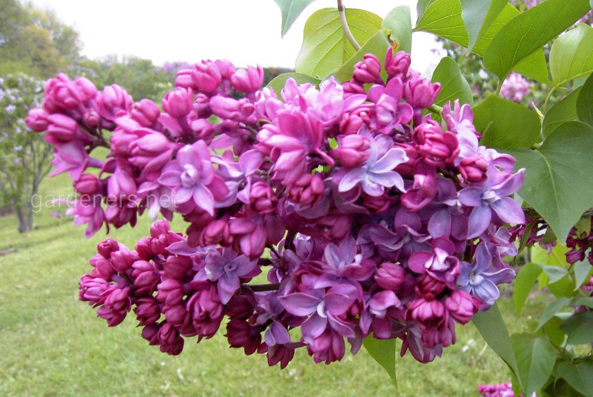 Syringa vulgaris Paul Thirion