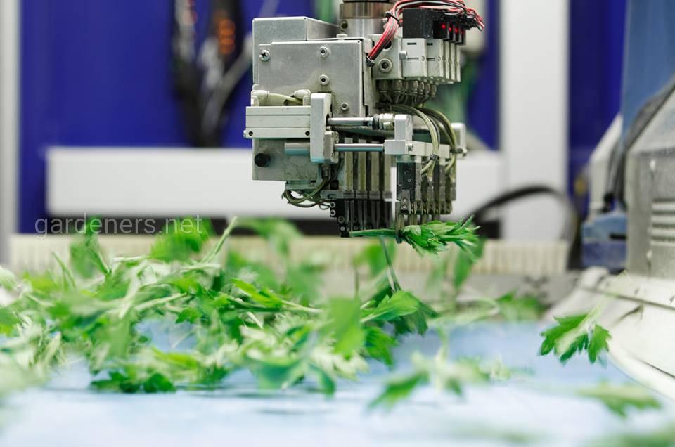 «Deliflor» - это лидер по выращиванию и реализации черенков хризантем
