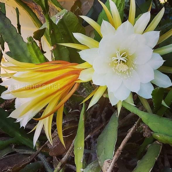 Epiphyllum Laui