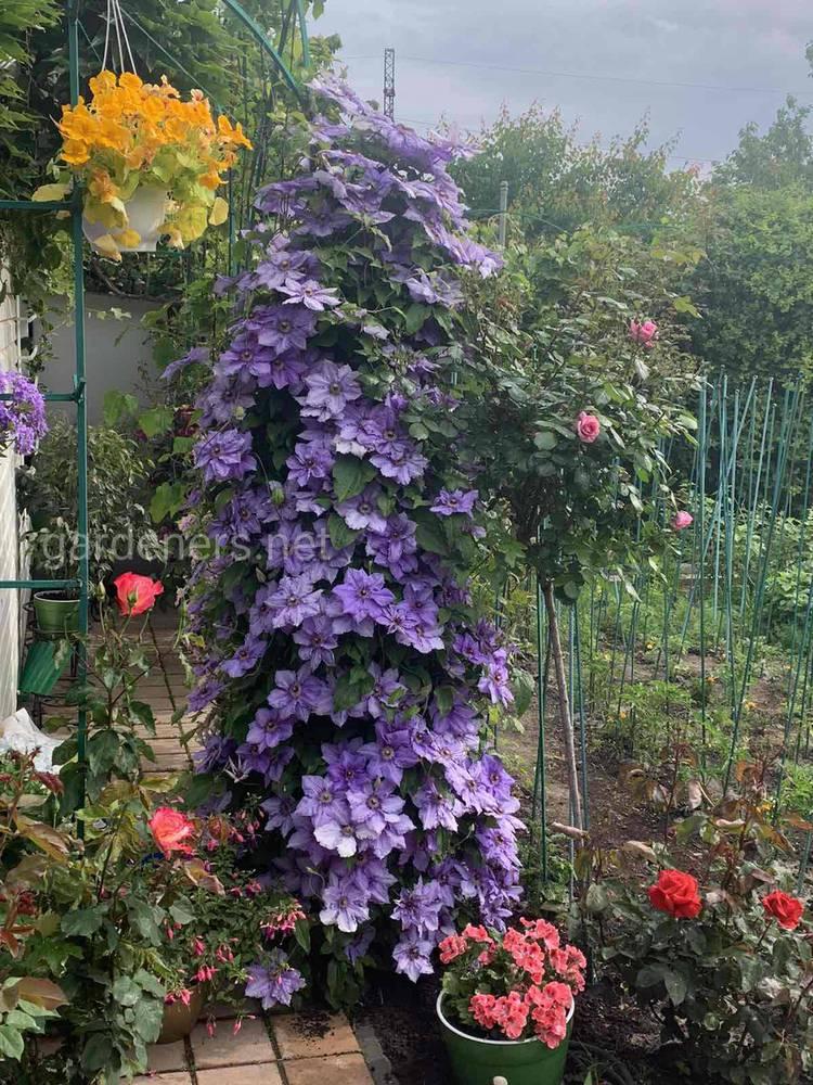 Клематис - декоративное растение