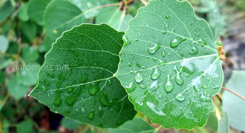 Какими полезными свойствами обладает осина и как ее применять
