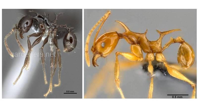 """Необычные виды муравьев из Папуа-Новой Гвинеи были названы именами драконов из """"Игры Престолов"""""""