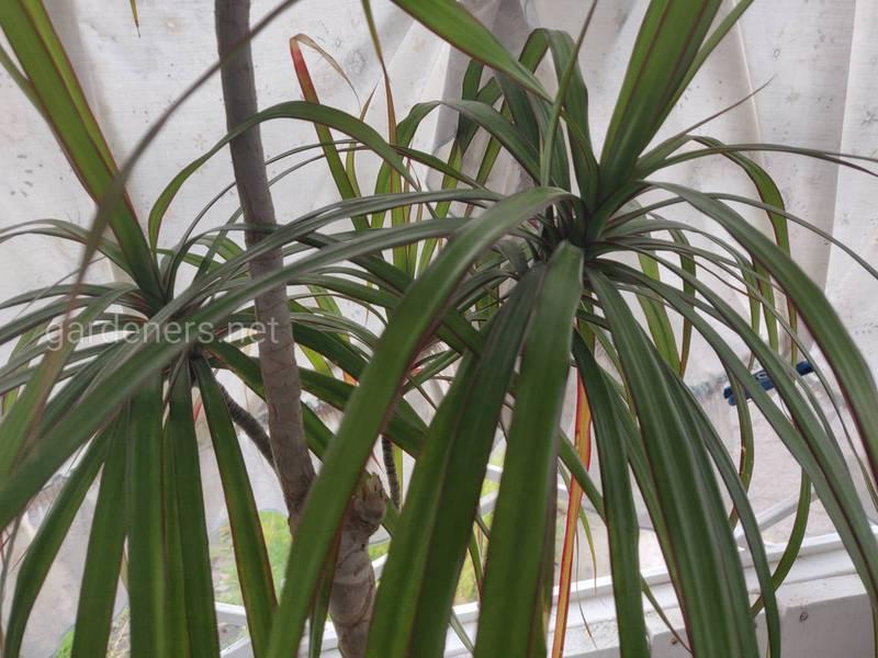По каким причинам на листьях драцены появляются пятна и как решить проблему