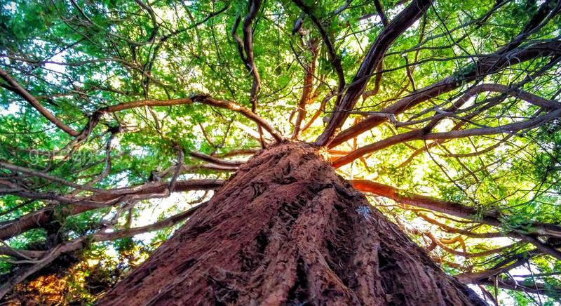 Самые высокие деревья планеты.jpg