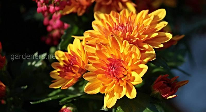 Хризантеми для пізньої осені. Огляд морозостійких сортів