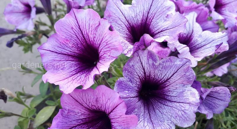 Петунии - самый популярные цветок на сегодня. Описание. Виды. Классификация
