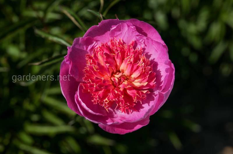 Как вырастить красивый и обильно цветущий пион?