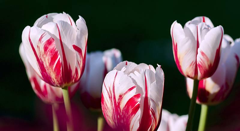 Уход за тюльпанами во время и после цветения
