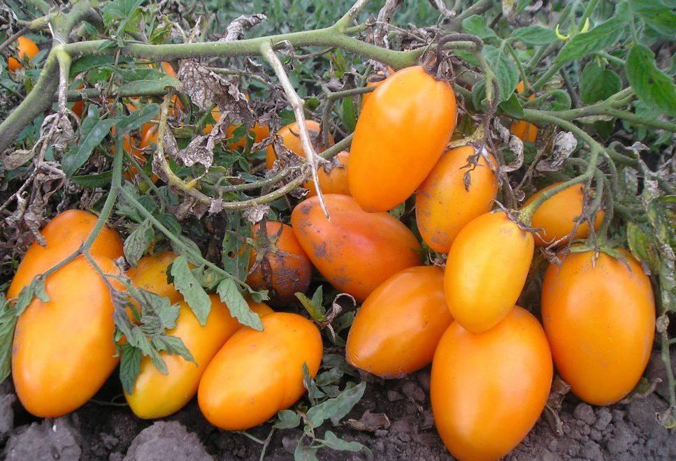 Сорт томата Медовый бочонок