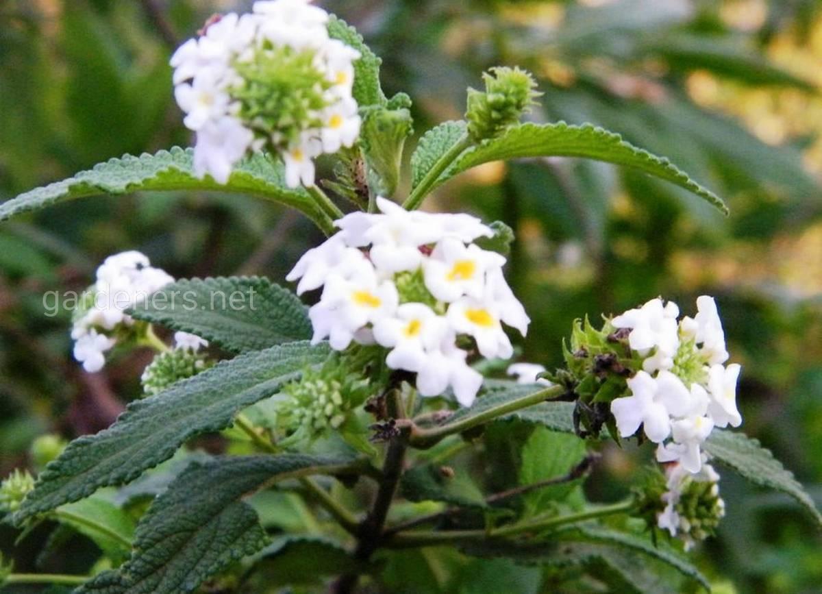 Lantana viburnoides