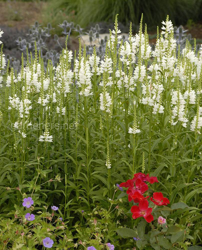 Physostegia  Miss Manners