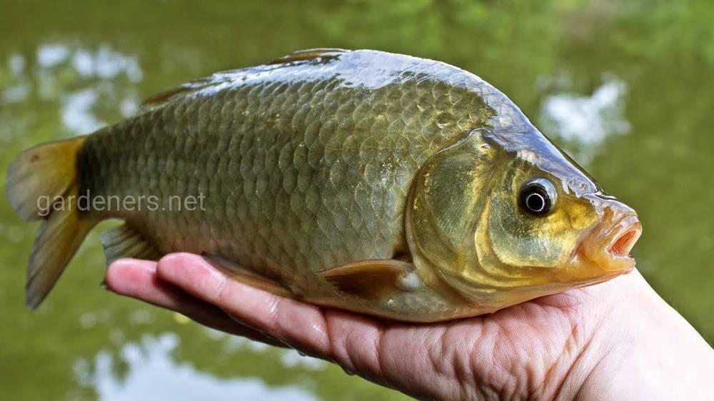 Виды рыб для пруда