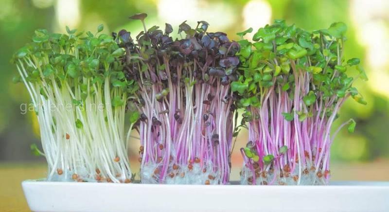 способи вирощування мікрозелені