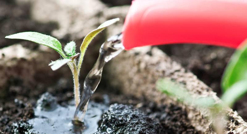 Как поливать правильно рассаду зимой в квартире
