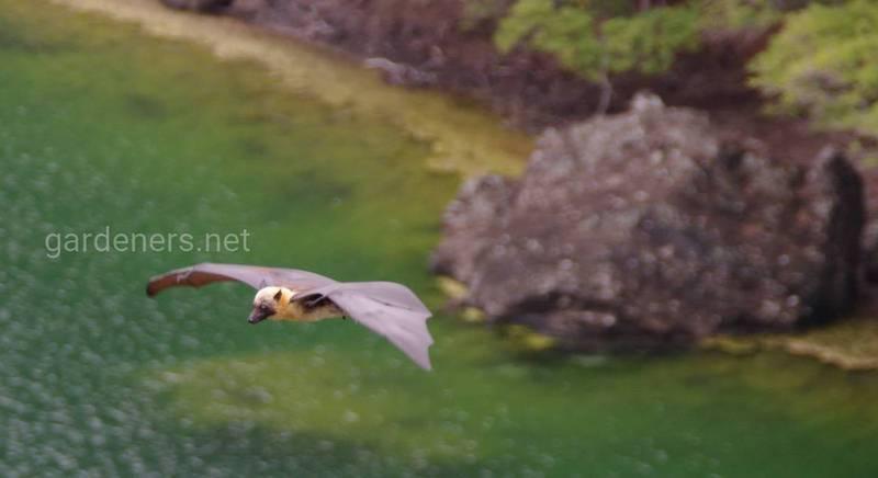 Летучая лисица Ливингстона