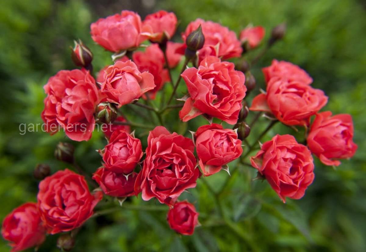 роза Оранж Триумф