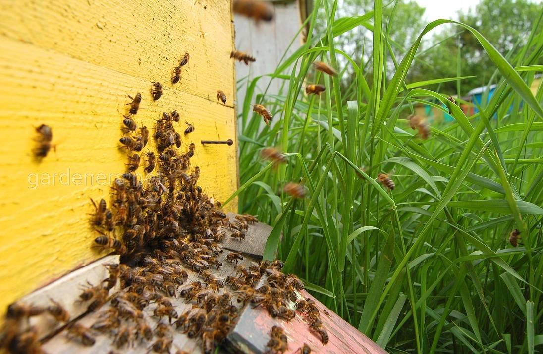 Размножение пчелосемей роением
