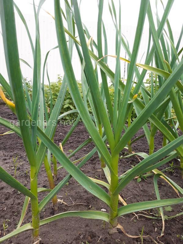 Застосування гербіцидів при вирощуванні часнику!