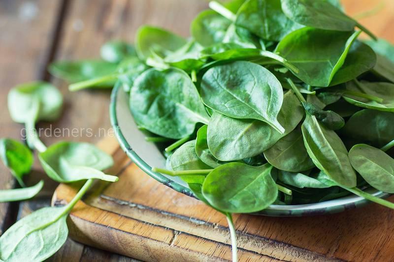 Польза и вред шпината для вашего здоровья