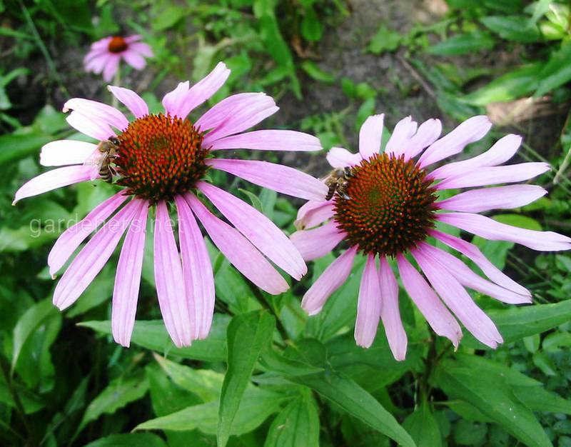 Как размножить эхинацею прямо в саду?