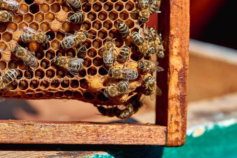 Пчелы на рамке_@alena_chaicova