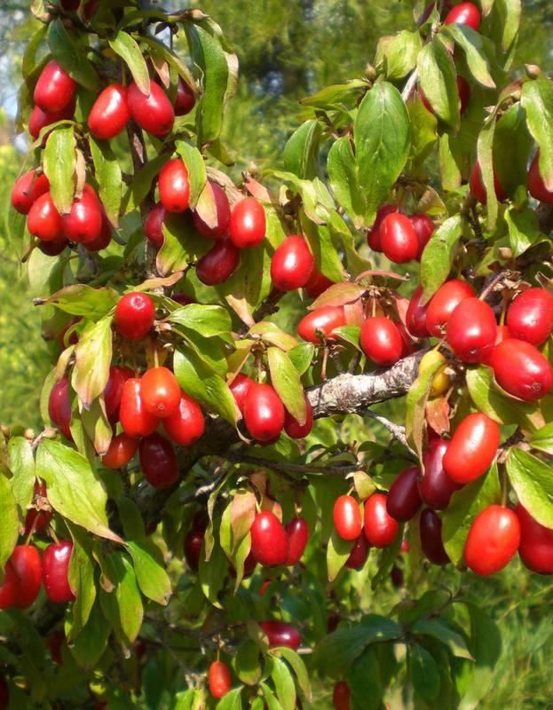 Кизил - декоративное дерево с лекарственными плодами