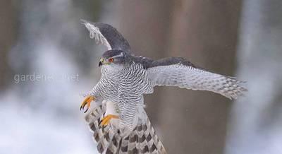 Птица Ястреб-тетеревятник
