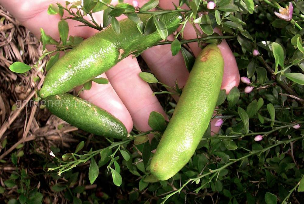 плоды пальчикового лайма