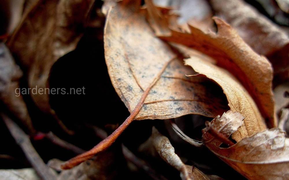 Сухая листва