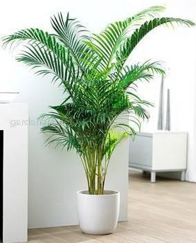 Пальмы для гостиной: как успешно выращивать вашингтонию и ареку?