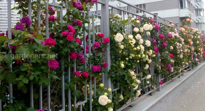 Плетистые розы - ценные садовые цветы