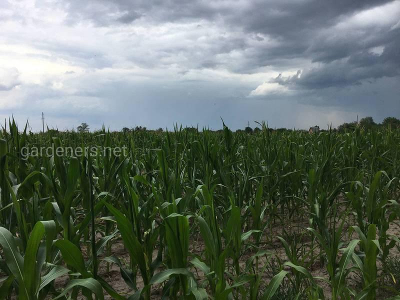 Как и когда проводят междурядную культивацию кукурузы?