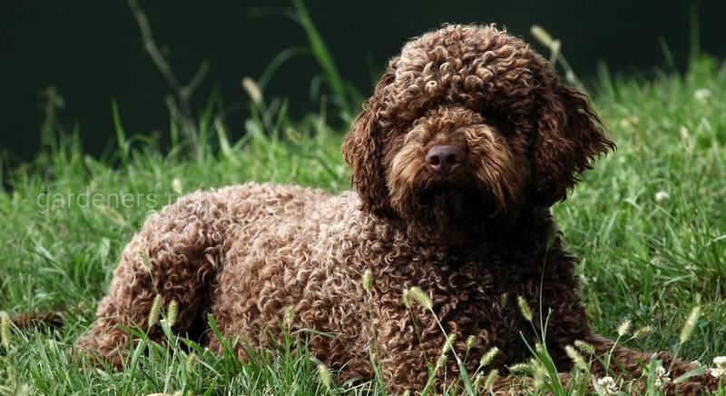 Лаготто-романьоло: кудрявые собаки, которые не линяют, и особенно любят играть с детьми