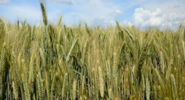 Плюсы выращивания тритикале. Где используют?