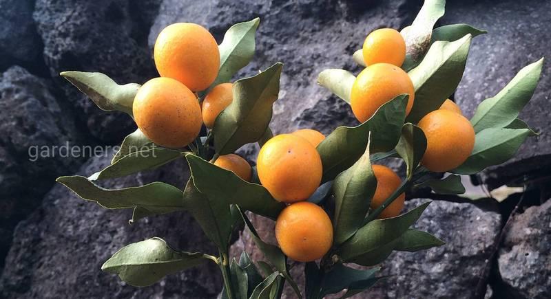 Кумкват – китайский «золотой апельсин».jpg
