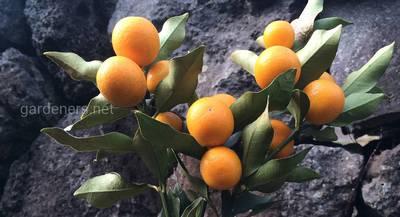 Кумкват – китайский «золотой апельсин», атрибут Нового года по восточному календарю