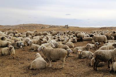 Армянская полугрубошерстная овца