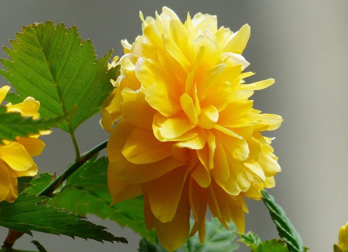 цветы керрии японской