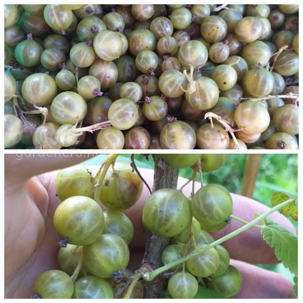 Зеленоплодная черная смородина сорт Золото Инков