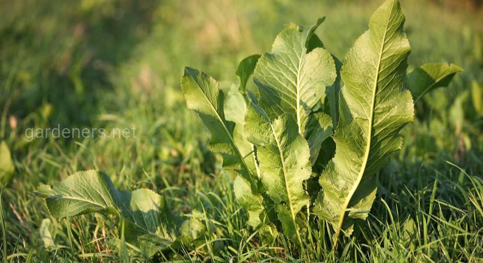 Описание, полезные качества и лекарственное применение обыкновенного хрена (Armoracia rusticana)