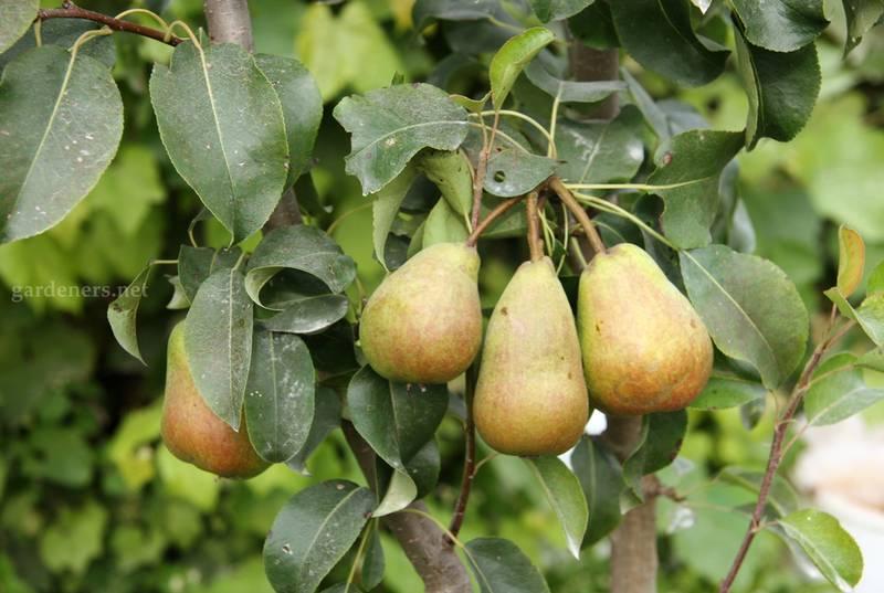 Коренной потенциал. Сколько могут плодоносить фруктовые деревья?