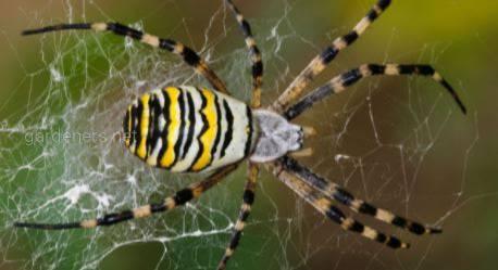 Аргиопа тигровая, он же паук-оса, паук-тигр - яркий, привлекательный и вовсе не безобидный паук!