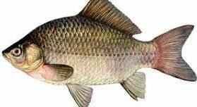 Чем можно заразится от рыбы? Описторхоз!