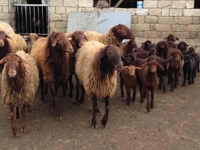 Апшеронская овца